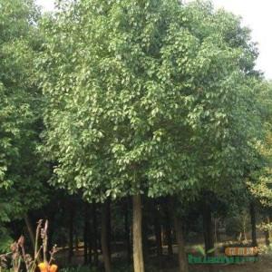 江苏大叶女贞四季常青行道树木绿化大小规格齐全