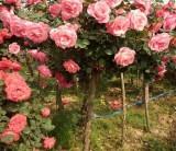 河南3-6公分精品树桩月季价格