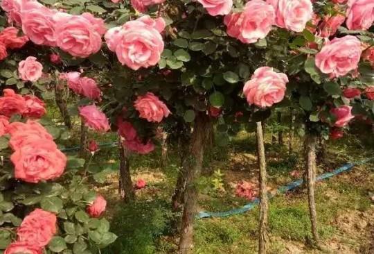 河南3-6公分精品樹樁月季價格