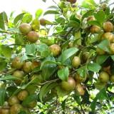 广西岑溪高产软枝良种油茶苗