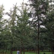 实生19公分银杏树价格