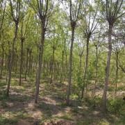 8公分栾树
