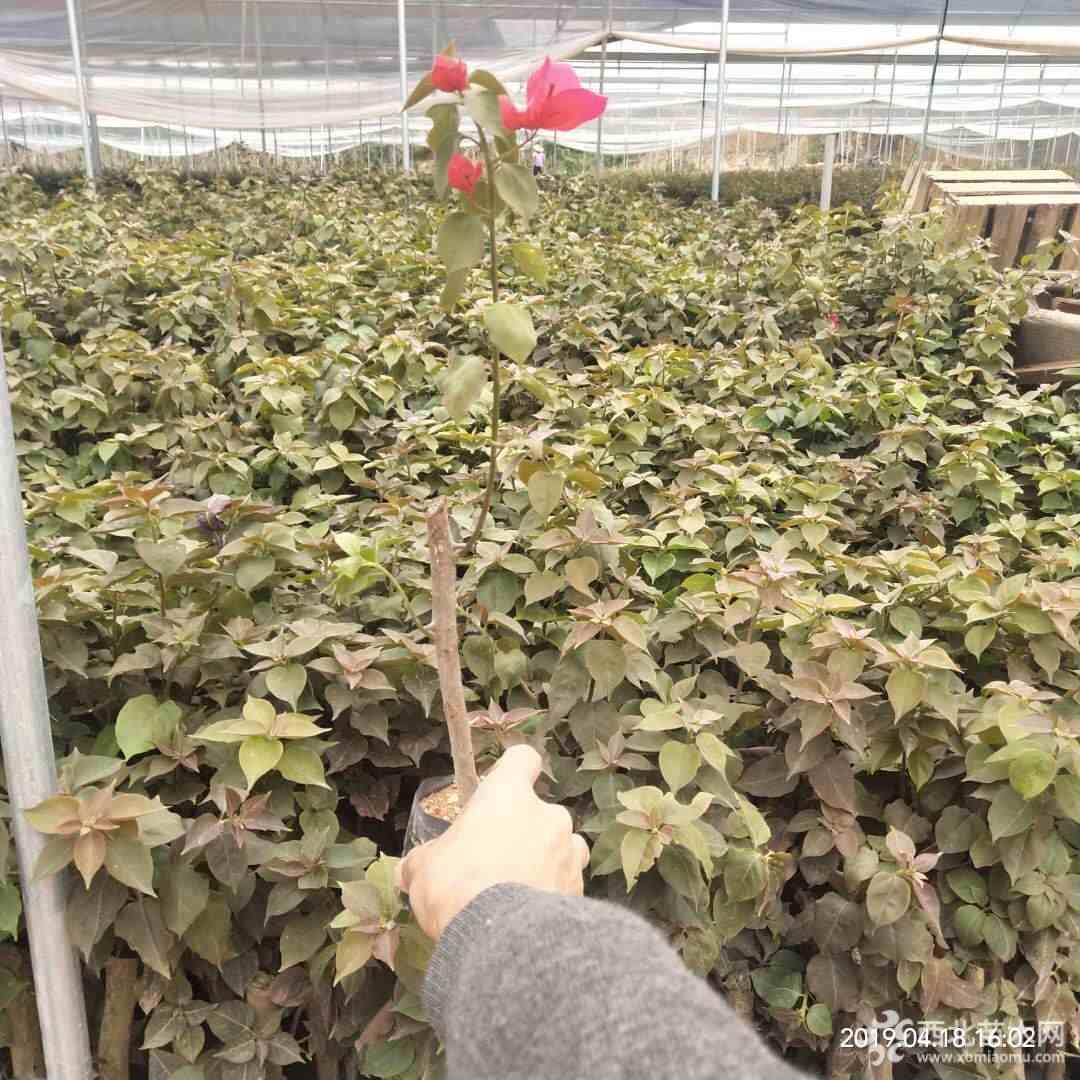 广西三角梅小苗 30公分红花三角梅小苗  源头厂家 价格公道