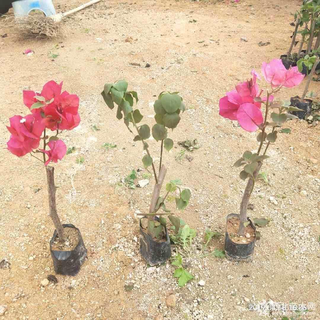 云南三角梅小苗 30公分红花三角梅小苗 自产自销 大量供应