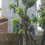 15公分秋枫(重阳木)