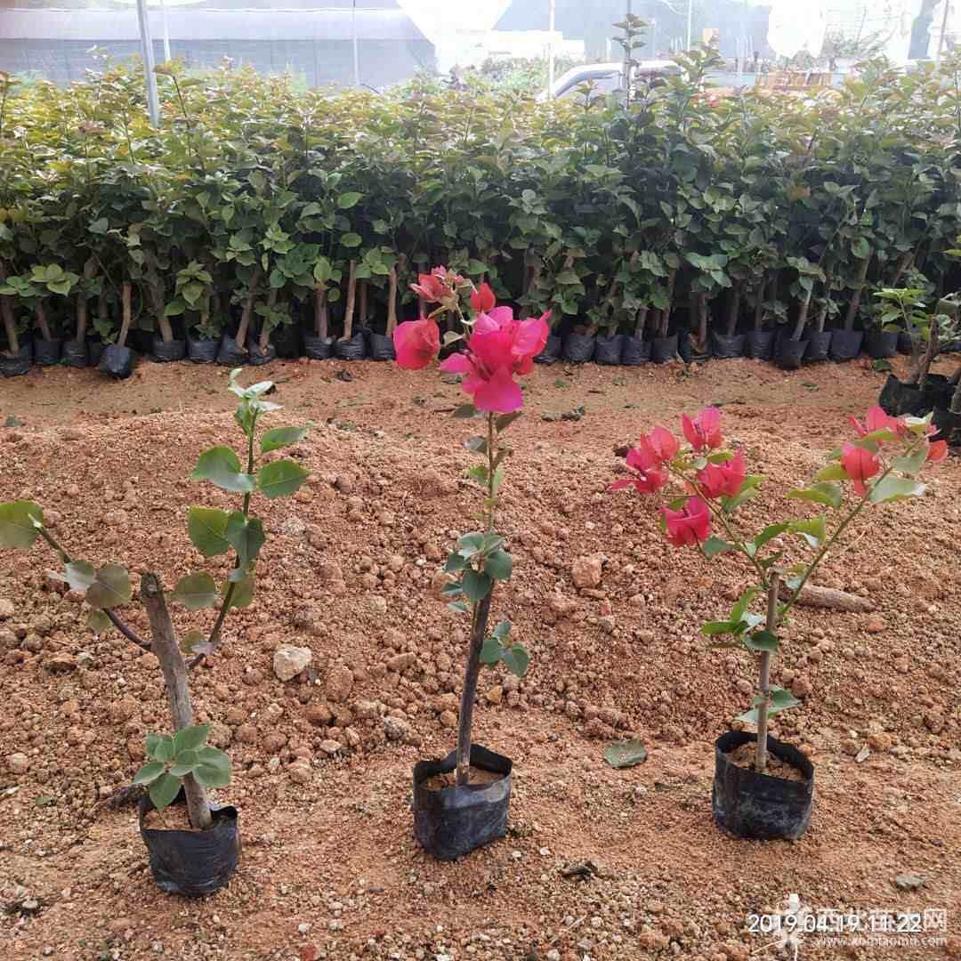 红花三角梅小苗