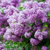 丁香花樹苗嫁接獨桿丁香綠化開花
