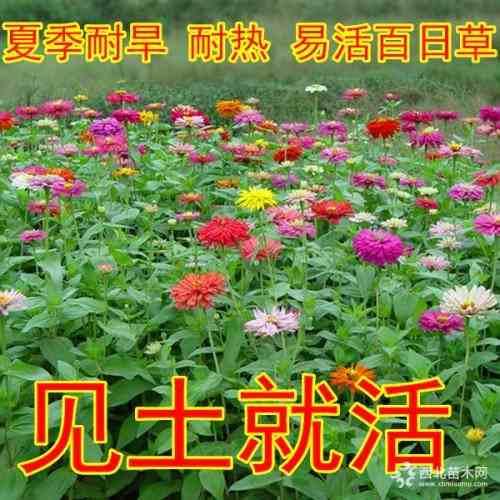 混色百日草种子