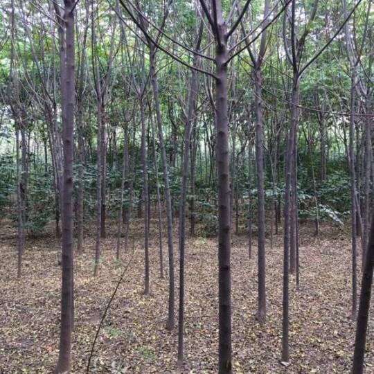 2-10公分苦楝树