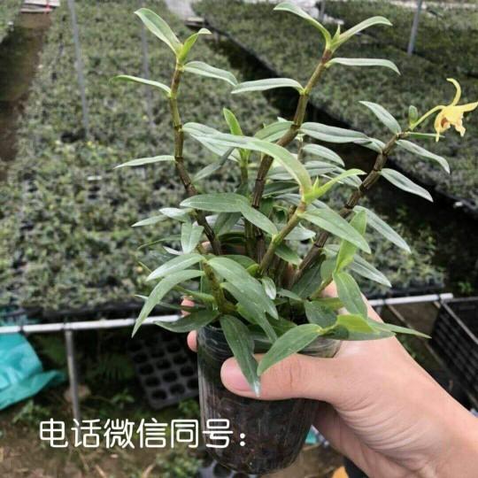 鐵皮石斛杯苗馴化種苗