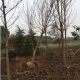 8公分马褂木树