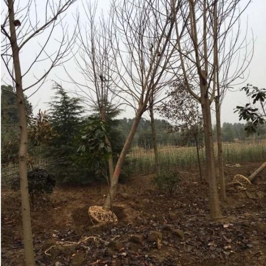 8公分馬褂木樹