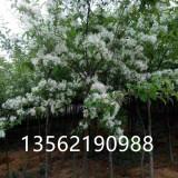 流苏四月雪绿化树