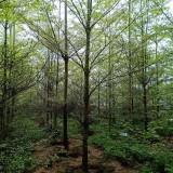 6米高小叶榄仁