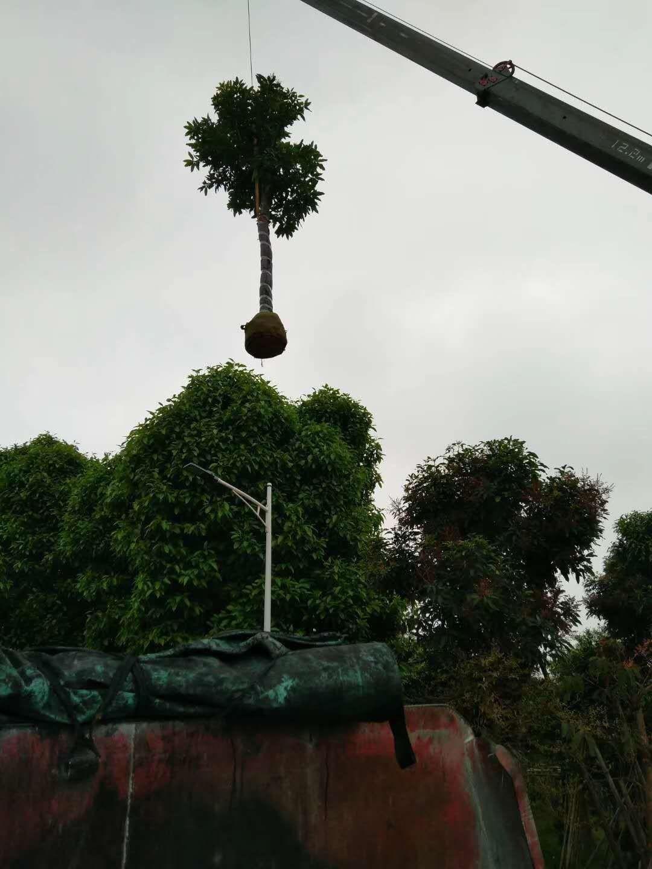4米高芒果