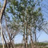 25公分叢生樸樹