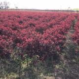 美国红栌 红栌种植基地