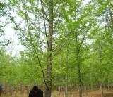 实生23公分银杏树批发价格表