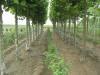 法国梧桐树苗