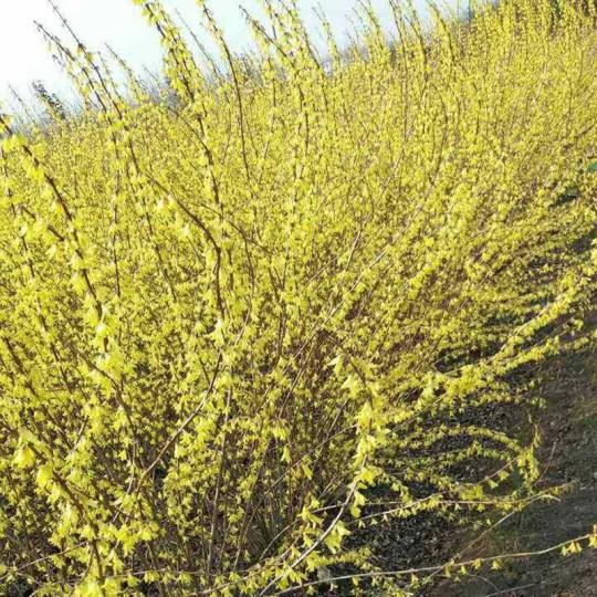 黃老虎連翹苗黃花條黃金條樹苗