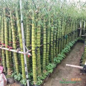 罗汉竹 佛肚竹葫芦竹