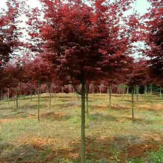 5公分紅楓,日本紅楓價格