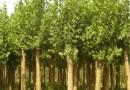 法国梧桐树