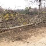 2-16公分构树