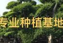 榆树桩批发 榆树盆景价格 榆树桩头基地直销