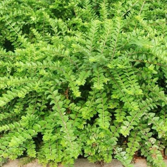 25公分亮綠忍冬小杯苗