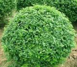 萧山 大叶黄杨球     1米2