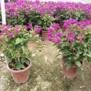 紫花三角梅