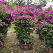 福建紫花三角梅基地1.2米三角梅