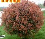 萧山红叶石楠球  1米8