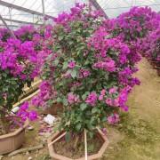 1.5米三角梅 漳州紫花三角梅基地