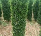 萧山1米8大叶黄杨柱子
