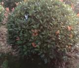 萧山红叶石楠球 1米5