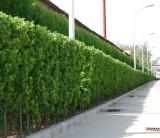 萧山1米5大叶黄杨篱笆