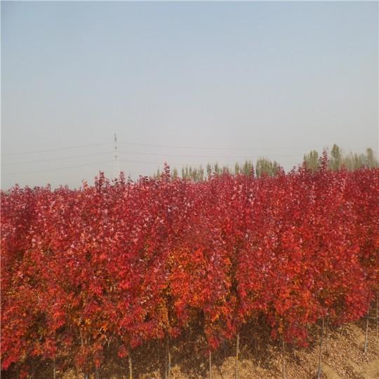 地径5公分秋火焰红枫 美国红枫批发