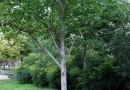 马褂木大小规格齐全