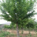 五角枫树苗大小规格