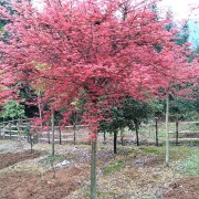 5-30公分日本红枫树苗价格