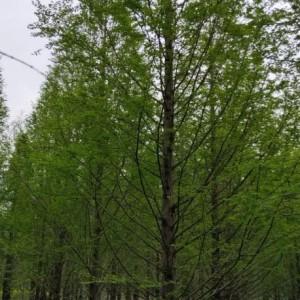 9公分水杉