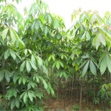 江苏2公分七叶树