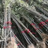 2公分紫竹