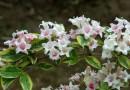 萧山 20公分花叶锦带色块