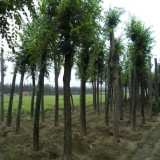 10公分樸樹