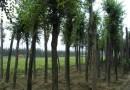 10公分朴树
