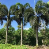 福建3-10米狐尾椰子基地