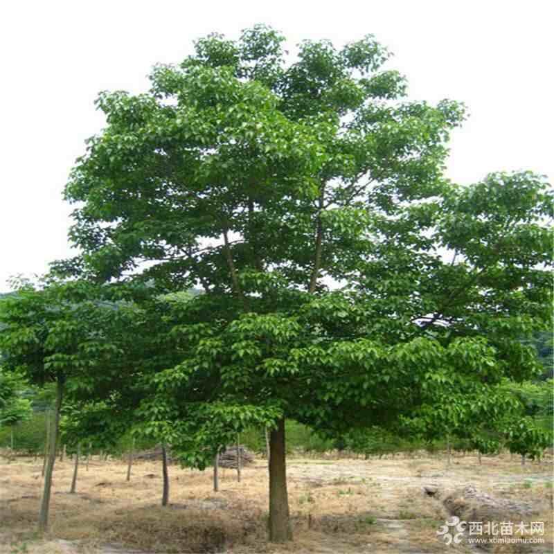 江苏重阳木